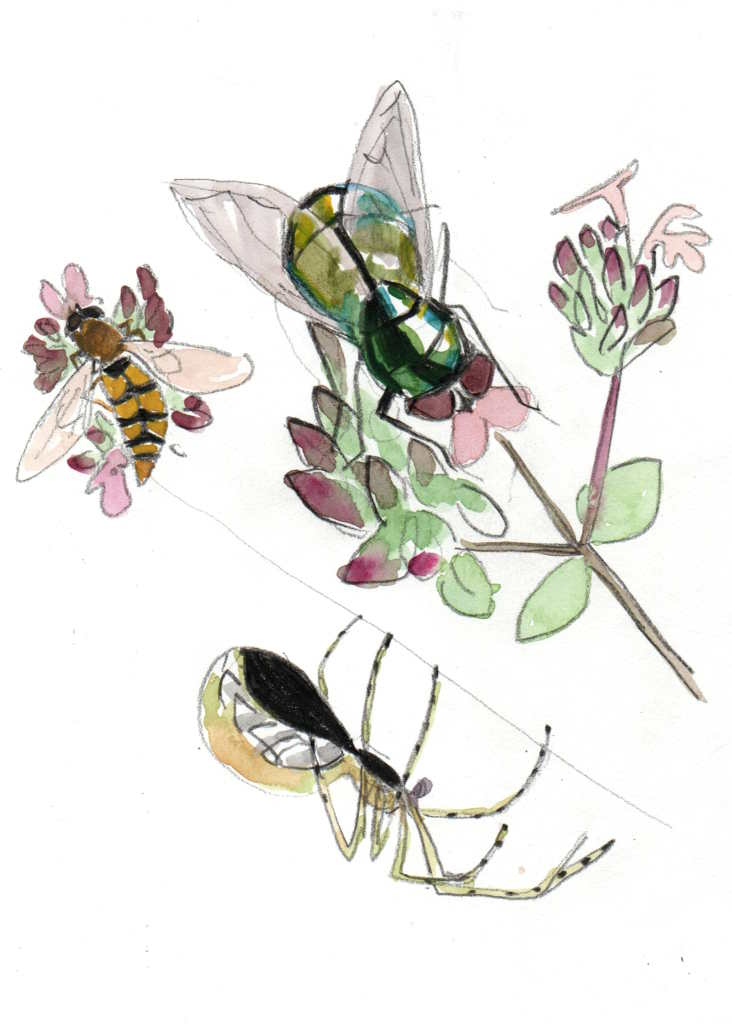 drawing of a fly , a hover fly and a garden spider in pencil and watercolour