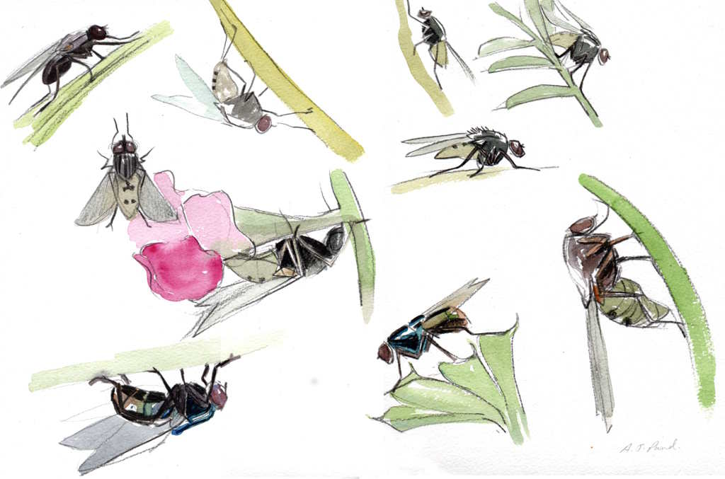 page of studies of flies in pencil and watercolour