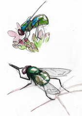 2 studies of flies in pencil and watercolour