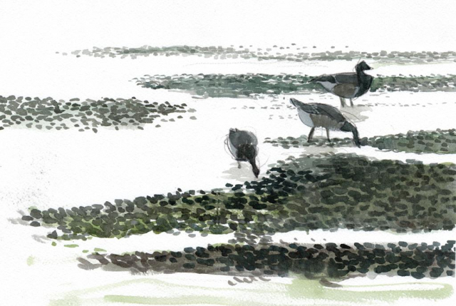drawing of 3 brent geese on mudflats with the light behind them in pencil and watercolour