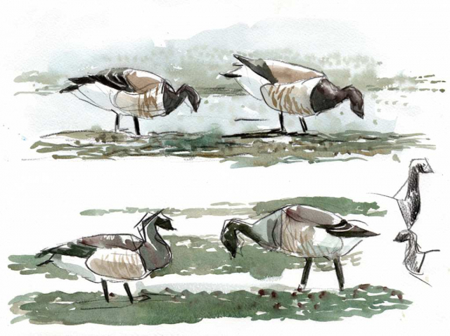 four studies of brent geese in pencil and watercolour