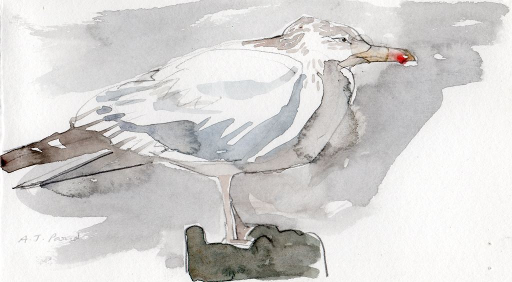 drawing of a herring gull on a post in pencil and watercolour