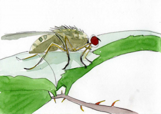 drawing of a green fly on a leaf in pencil and watercolour