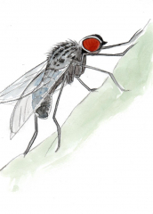 drawing of a large black fly with red eyes in pencil and watercolour