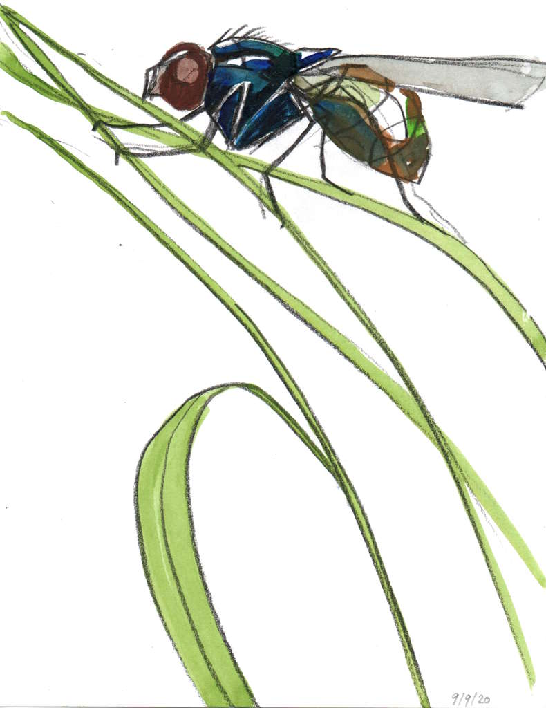 drawing of a bluebottle fly on grass stalks in pencil and watercolour