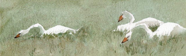 drawing of whooper swans in a green field in pencil and watercolour