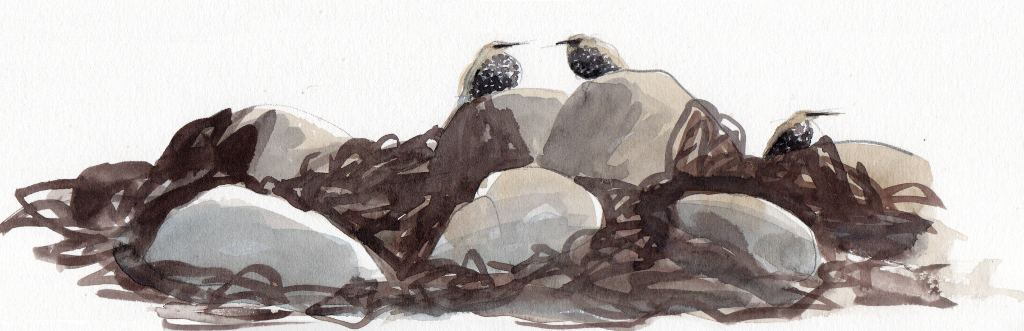 drawing of young starlings on rocks and seaweed in pencil and watercolour