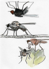 drawing of 4 flies in pencil and watercolour