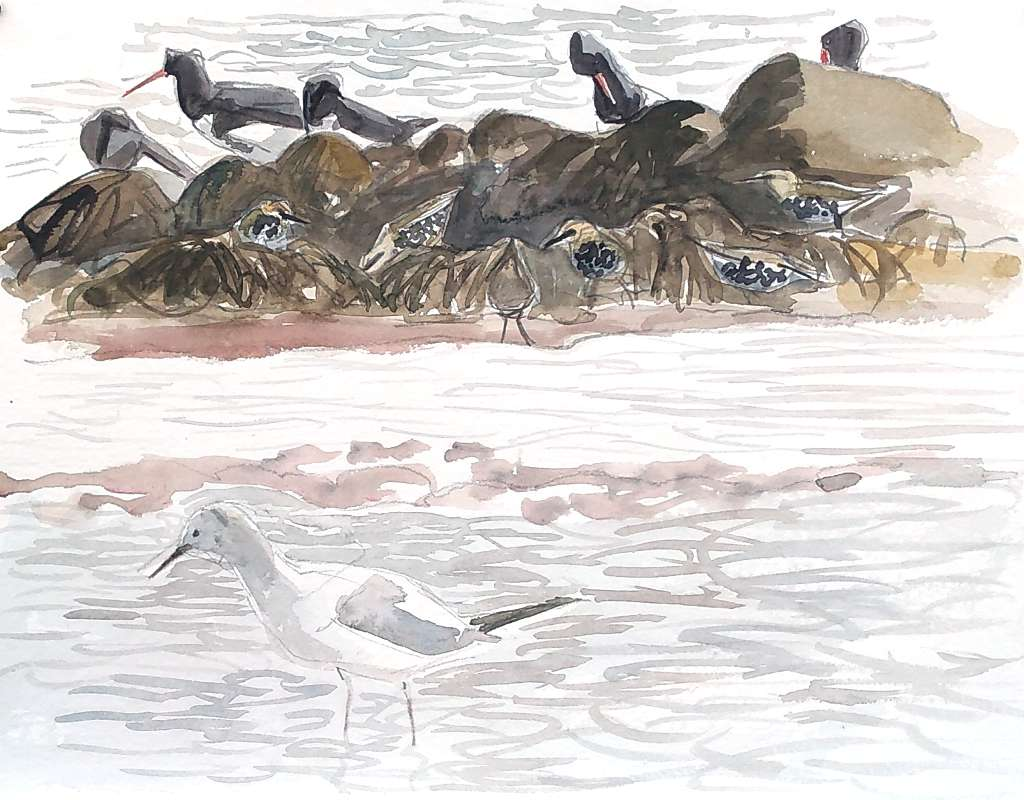 drawing of blackheaded gull in winter plumage in shallow water with oystercatchers and starlings amongst rocks and seaweed in the background