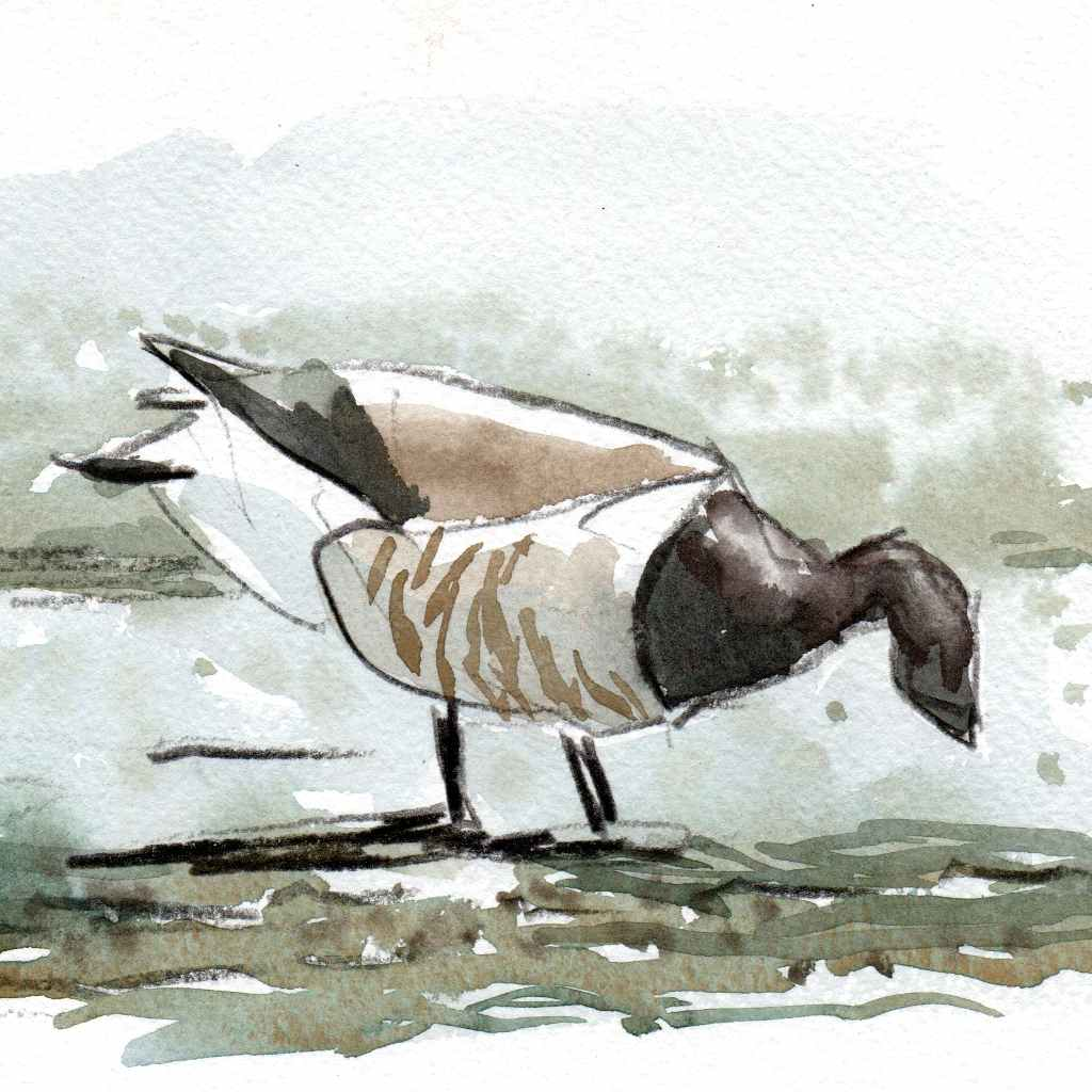 water colour of a brent goose feeding