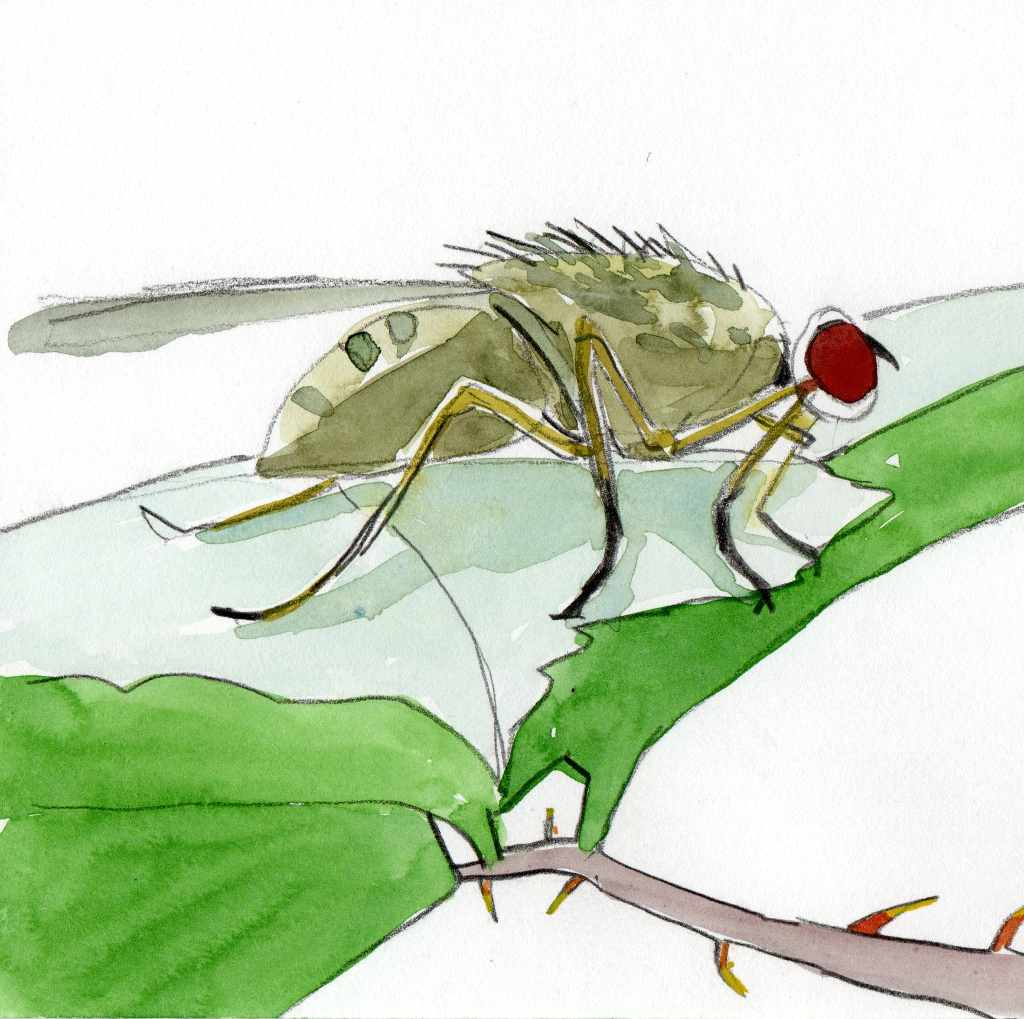 green fly on a leaf. watercolour