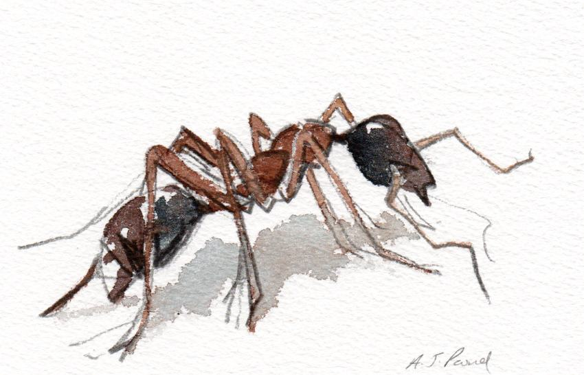 Watercolour study of an ant
